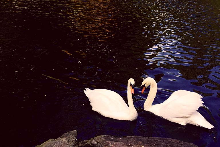 relationship-swans
